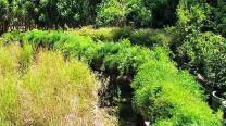 Asparagus Densiflorus / Sprengeri Fern