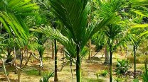 "Areca Catechu / ""Betel-nut Palm"""