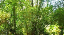 Bambusa Vulgaris / Feathery Bamboo