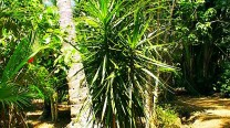 Dracena Marginata / Dragon Tree