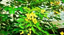"""Cassia Fruticosa """"Drooping Cassia"""""""