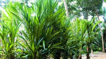 Cyrtostachys Renda / Sealing Wax Palm