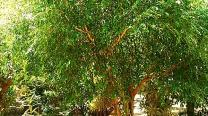 """Ficus Benjamina """"Exotica"""""""