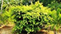 Ficus Nitida - Westland