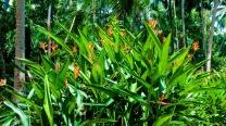 Heliconia Pssittacorum / Rubra