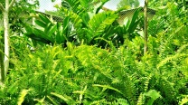 Nephrolepis Biserrata Furcans / Fishtail Fern