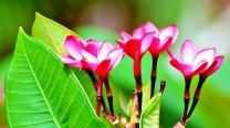 Pink Hybrid Frangipani Temple Tree
