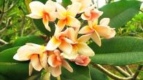 Plumeria Rubra / Frangipani / Hybrid-Peech Plumeria