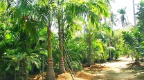 Roystonea Regia / Royal Palms